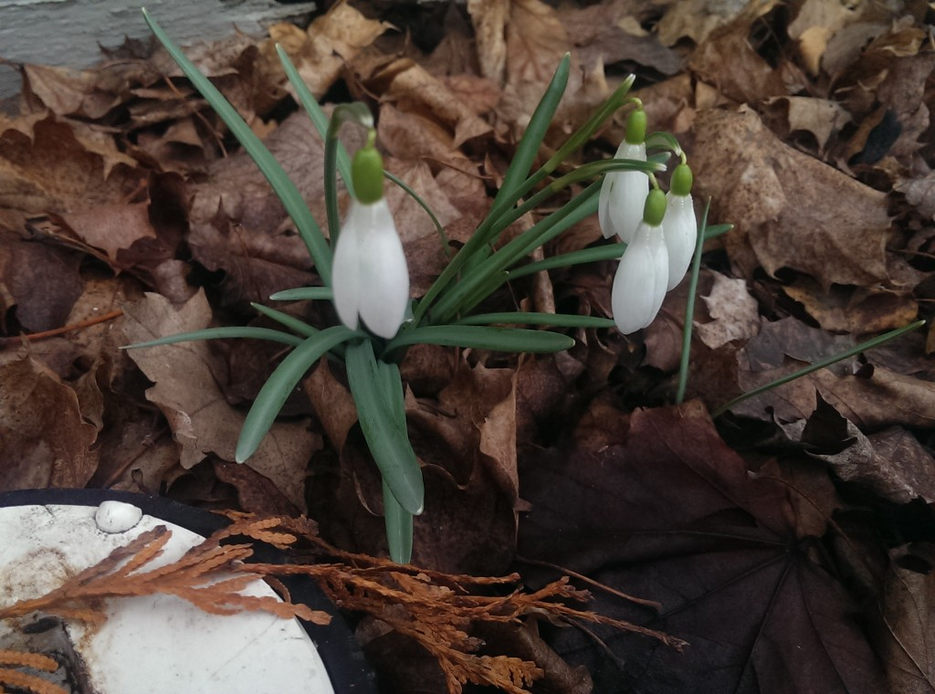 Snow drops - you hardy little flower!