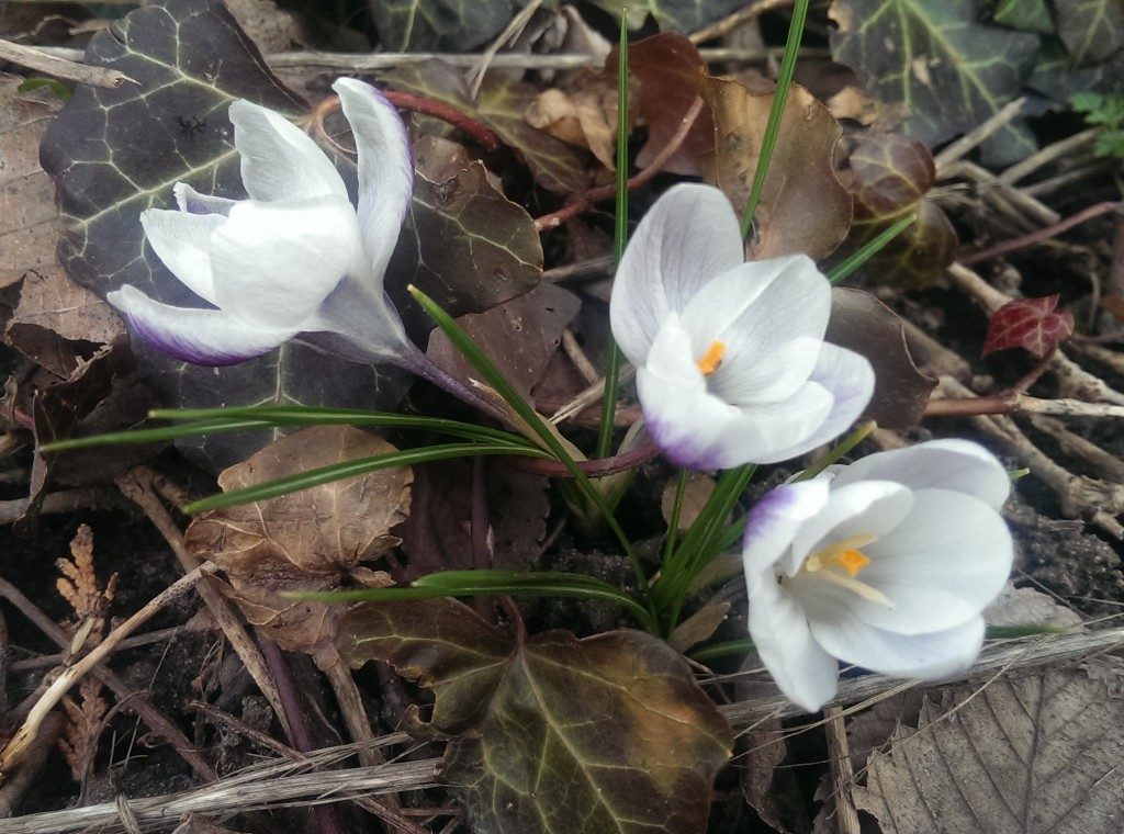 2016 March 22 Morning crocus IMAG6469