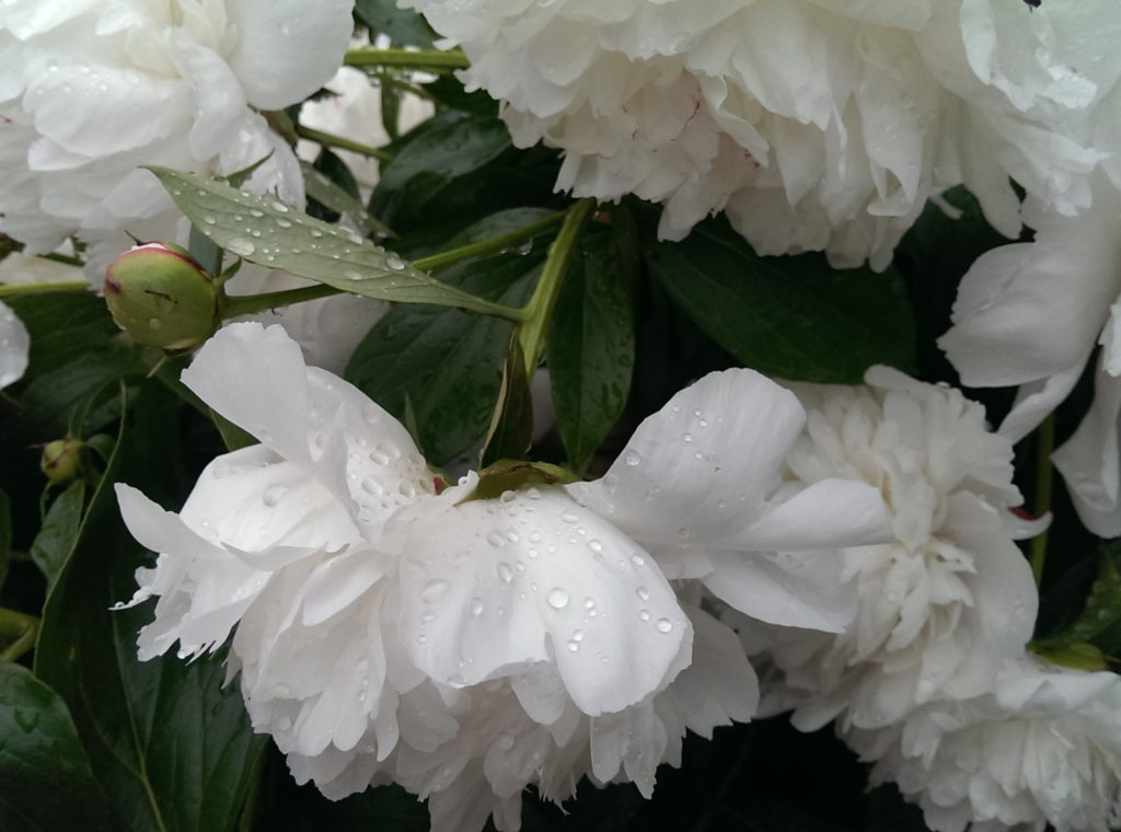 2016 May 7 TUES B&T Peonies in rain IMAG9196